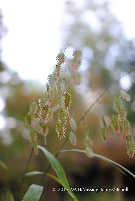 Northern sea oats, Chasmanthium latifolium