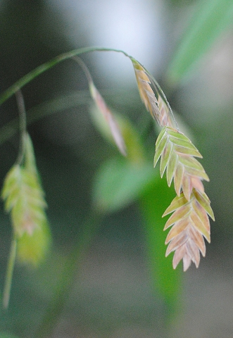 Northern sea oats, Chasmanthium latifolium seed head