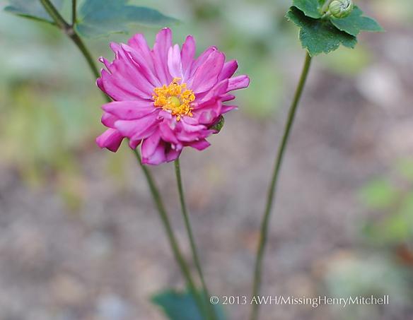 Anemone hupehensis 'Pamina' blossom