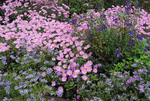Chrysanthemum x morifolium 'Ryan's Pink' with 'Bluebird' aster