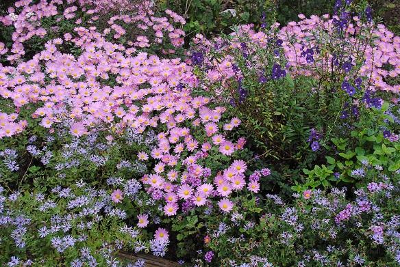 Chrysanthemum x morifolium 'Ryan's Pink' with 'Bluebird' aster