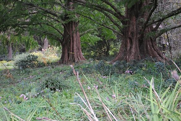 dawn redwood with cyclamen
