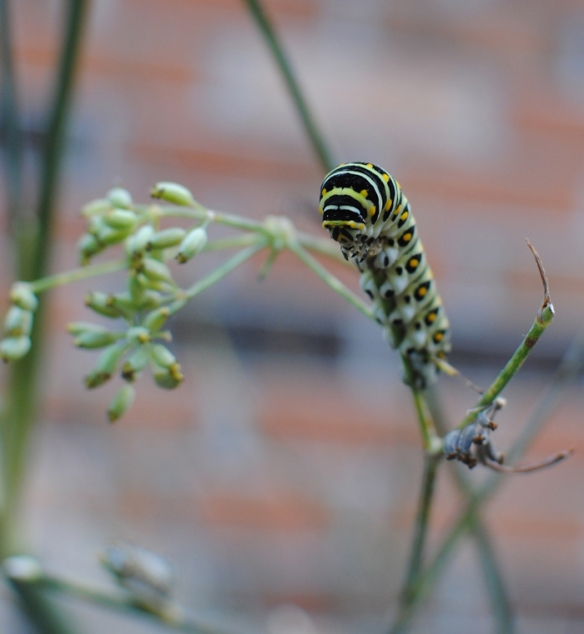 swallowtail butterfly larva