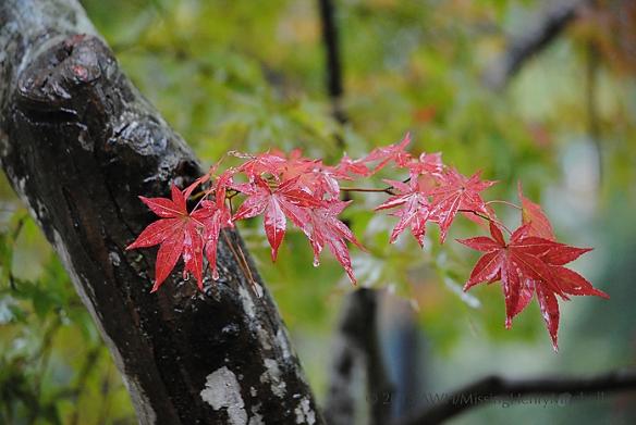 red japanese maple leaf
