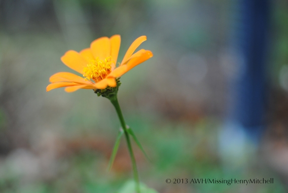 single orange zinnia