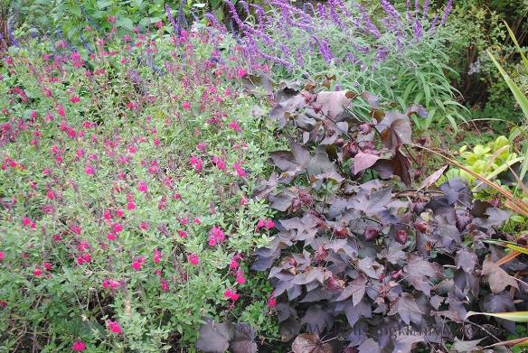 salvia mixed planting at Montrose