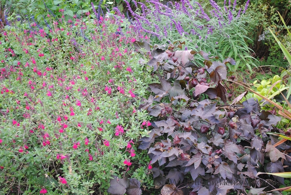 salvia mixed planting at Montrose