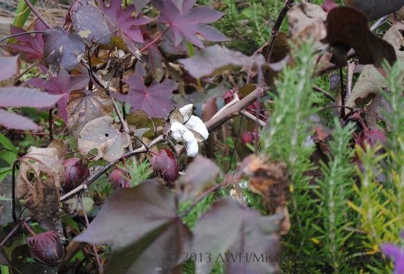 Cotton plant (Gossypium)