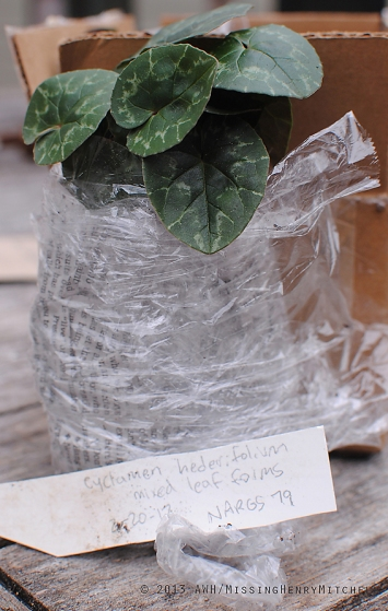 cyclamen hederifolium ready for transplant