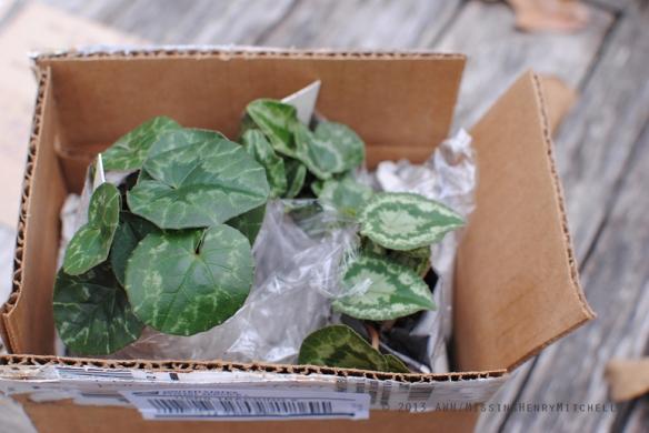 surprise cyclamen plants