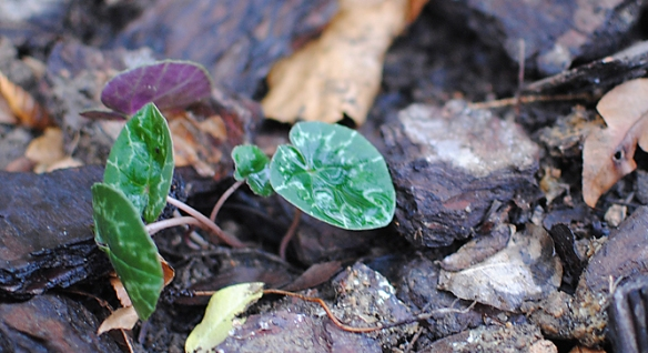 cyclamen hederifolium planted