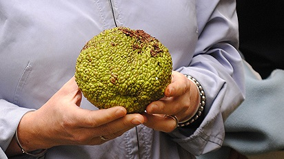 maclura pomifera fruit