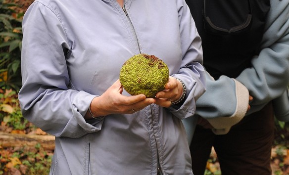 Osage orange (Maclura pomifera) fruit