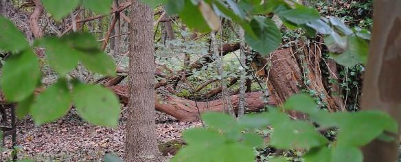 Maclura pomifera wood