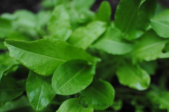 Sorrel (Rumex acetosa)