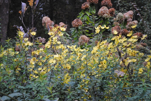 A winter border at Montrose with oakleaf hydrangea (Hydrangea quercifolia),  and helianthus.