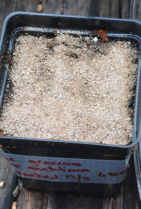 cyclamen graecum potted covered in vermiculite