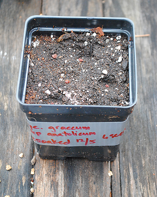 cyclamen seeds potted