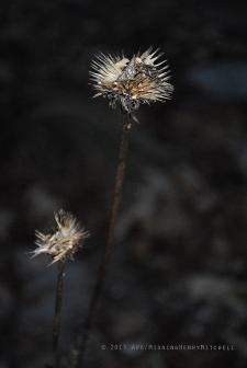 echinacea seed heads