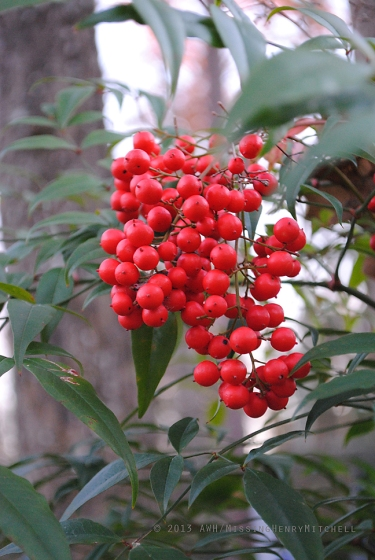 Berry cluster of Nandina domestica