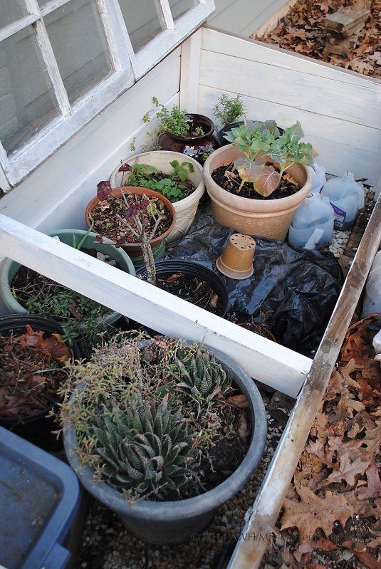 crowded pots in the cold frame