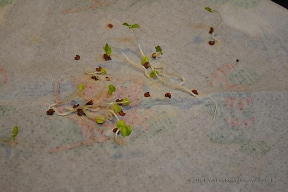 germinated hollyhock seed
