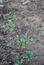 hairy bittercress cardamine hirsuta weed seedling