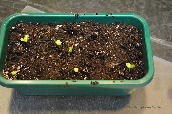 seedlings potted up into the seed flat
