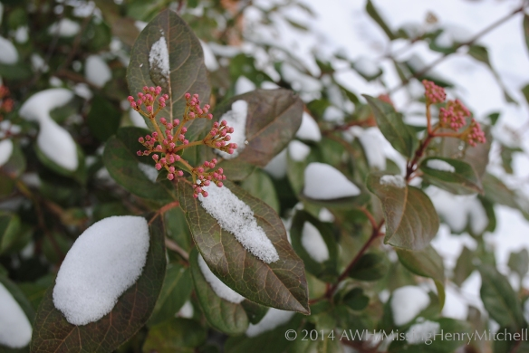snow on viburnum tinus