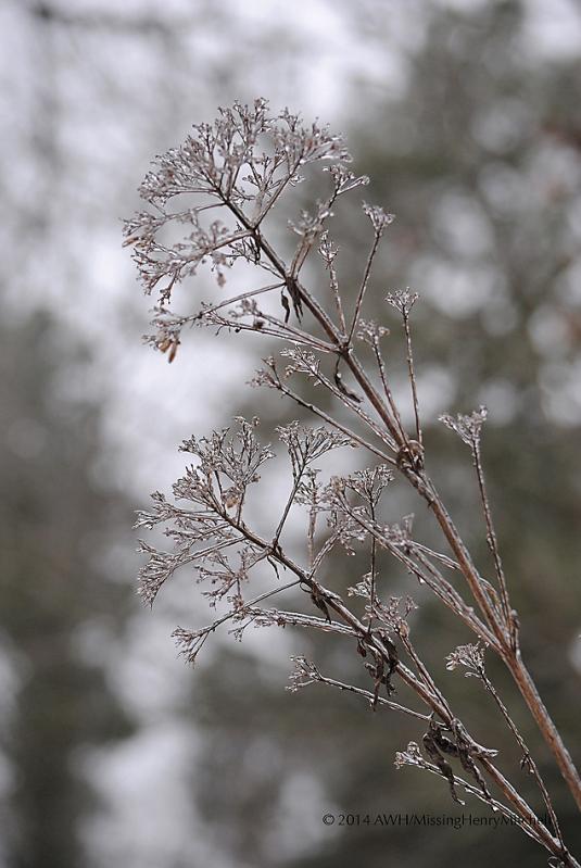 Ice on Joe Pye weed, Eutrochium purpureum
