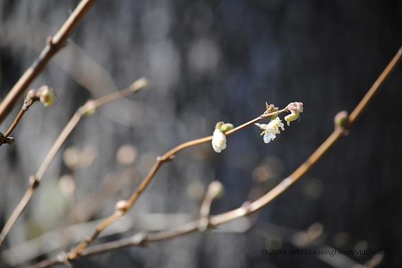 lonicera fragrantissima winter honeysuckle blossom