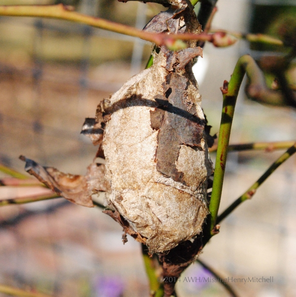cocoon hanging on blueberry twig