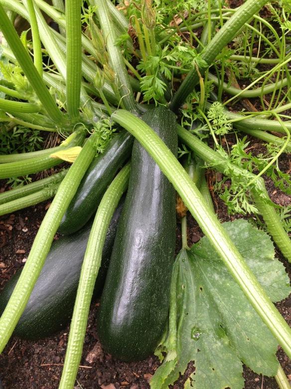 zucchini copy