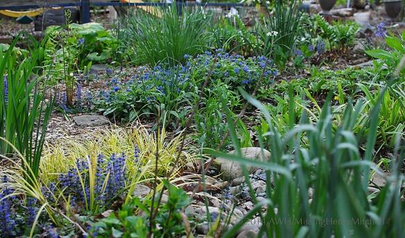 Rain garden looking SE 1 YO