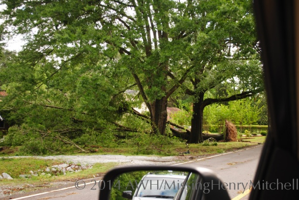 A massive oak tree fell in the storm last night. This is two miles from my house.