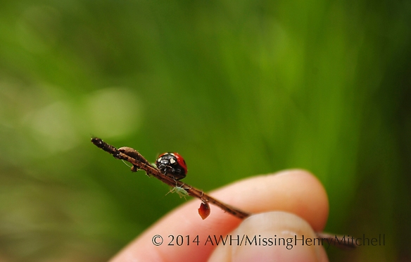 Lady beetle approaching her prey on a twig