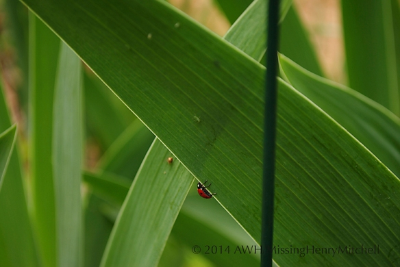 Lady beetle preparing to feast on aphids on Iris germanica.