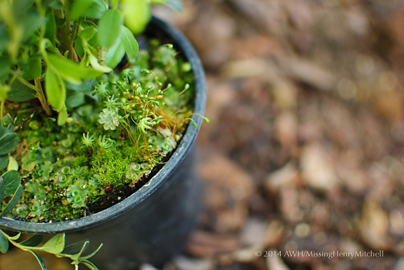 interesting moss in lingonberry pot