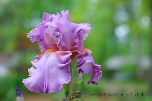 'Persian berry' bearded iris