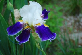 unknown bearded iris yellow beards purple falls edged in white