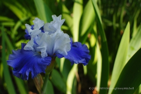 unknown blue and white bearded iris