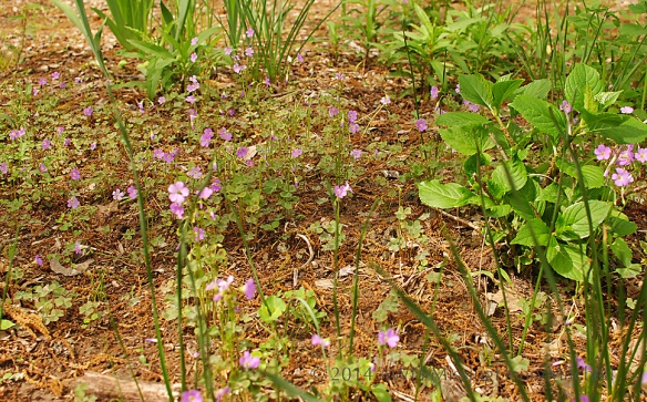 Oxalis violacea (violet woodsorrel) rapidly filled a bed of hydrangea, spring bulbs, and astilbes.