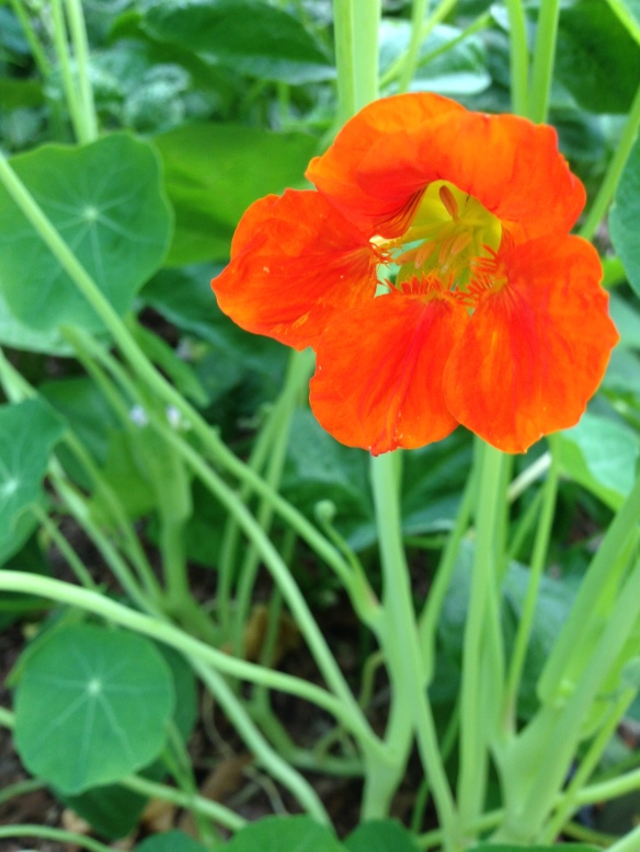 First nasturtium flower. They taste peppery. Try one.