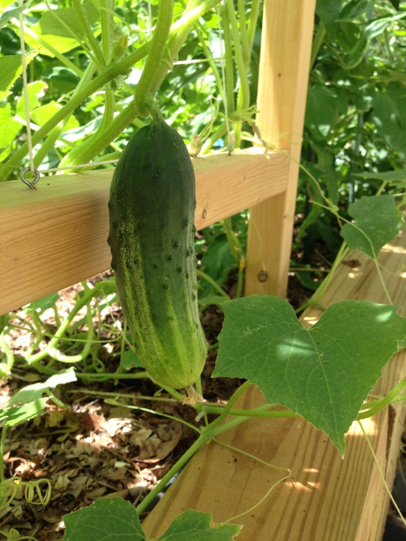 'Arkansas Little Leaf' pickling cucumber