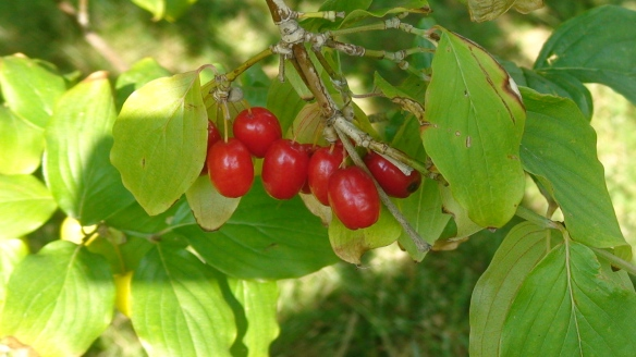 Fruits of cornelian cherry (Cornus mas)