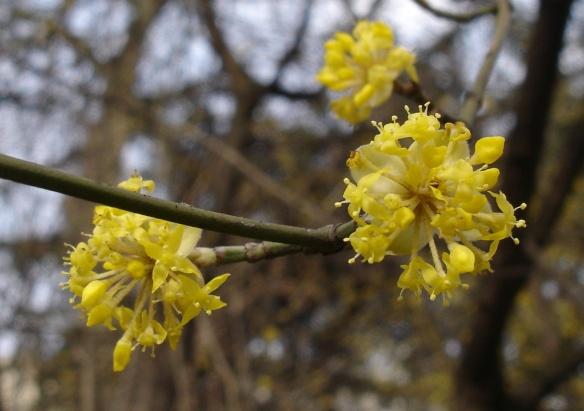 flowers of Cornus max