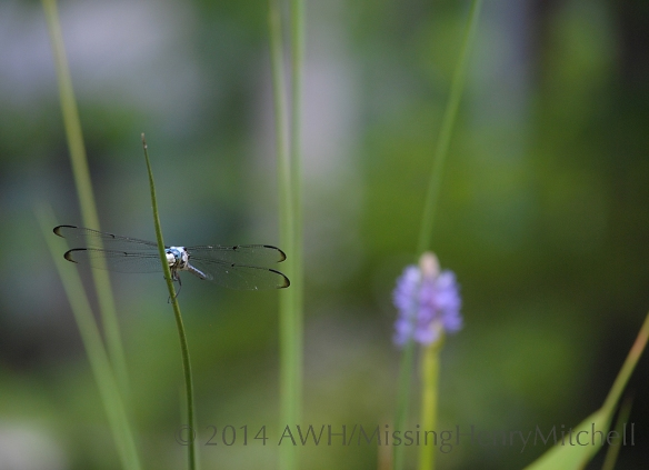 dragonfly in pond