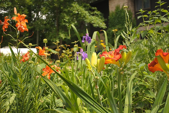 summer border daylilies yarrow iris tiger lilies