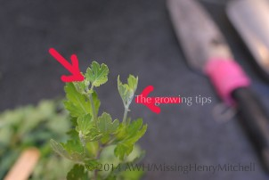 Remove the growing tip from your cuttings. This forces the plant to put energy into making roots.