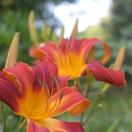 Hemerocallis 'Ferris Wheel'